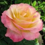 Чайно-гибридная роза Глория