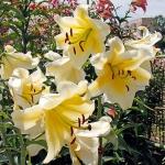 Луковицы лилии Honeymoon