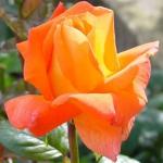 Чайно-гибридная роза Луи Де Фюнес
