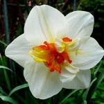 Нарцисс  Flower Drift Корончатый с махровой короной