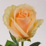 Чайно-гибридная роза Пич Аваланш