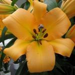 Луковицы лилии Saltarello