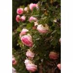 Вьющаяся роза Sharika-Asma