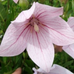 Платикодон Shell Pink