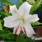 Луковицы лилии Simplon