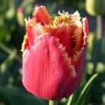 Тюльпан  Noranda Бахромчатый