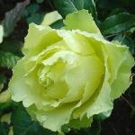 Саженцы розы чайно-гибридная Киви класс А (8шт)