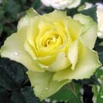 Саженцы розы чайно-гибридная Лимбо NEW класс А (8шт)