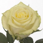 Саженцы розы чайно-гибридная Магади NEW класс А (8шт)