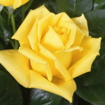 Саженцы розы чайно-гибридная Ландора класс А (8шт)