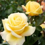 Саженцы розы чайно-гибридная Леандра класс А (8шт)