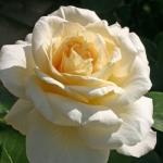 Саженцы розы чайно-гибридная Ла Перла класс А (8шт)