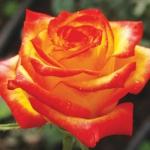 Саженцы розы чайно-гибридная Солнышко класс А (8шт) (1шт.)