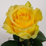 Саженцы розы чайно-гибридная Пенни Лейн NEW класс А (8шт)