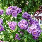 Вьющаяся роза Вейченблау