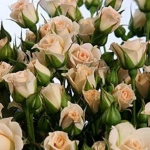 Мелкоцветковая роза Кремовая