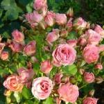 Мелкоцветковая роза Розовая ПРЕМИУМ