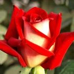 Чайно-гибридная роза Нью Фешн