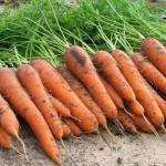 Морковь Скарла (1шт.)