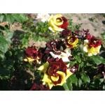 Чайно-гибридная роза Фокус Покус ПРЕМИУМ