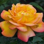 Вьющаяся роза Полная Луна