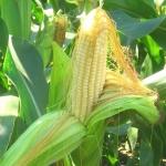 Кукуруза Сахарная Медуница (1шт.)