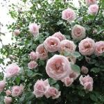 Вьющаяся роза Нью Даун