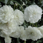 Почвопокровная роза Белая махровя