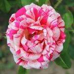 Саженцы розы парковая Пападжена класс А (8шт) (1шт.)