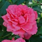 Саженцы розы махровая английский Sweet Kiss (Сладкий поцелуй) Эксклюзив класс А (8шт)