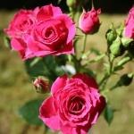 Саженцы розы мелкоцветная Розовая класс А (8шт)