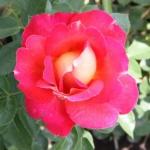 Саженцы розы парковая Павлиный Глаз класс А (8шт)