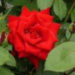 Саженцы розы мелкоцветная Мирабель класс А (8шт)