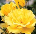 Саженцы вьющейся розы Голден Шоуэрс класс А (8шт)