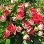 Саженцы розы мелкоцветная Руби Стар класс А (8шт)