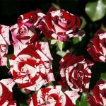 Саженцы розы мелкоцветная Флэш Найт класс А (8шт)