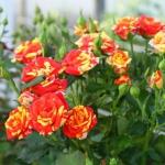 Саженцы розы мелкоцветная Флеш Фаер класс А (8шт)