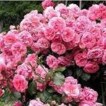 Штамбовая роза Розовая rabatowa