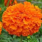 Чорнобривці Принц Оранж