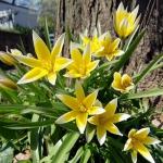 Тюльпан  Tarda  ботанический (1шт.)