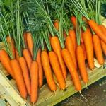 Морковь Флакко (1шт.)