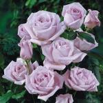 Вьющаяся роза Блу Мун