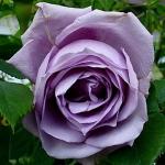 Чайно-гибридная роза Блу Мун