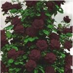 Вьющаяся роза Черная Королева