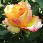 Чайно-гибридная роза Конфетти