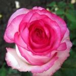 Чайно-гибридная роза Дольче Вита