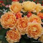 Английская роза Экскалибур (1шт.)