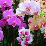 Вазон Орхидея 1 (фаленопсис) 12/80