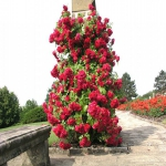 Вьющаяся роза Фламентанз