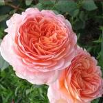 Английская роза Эдем